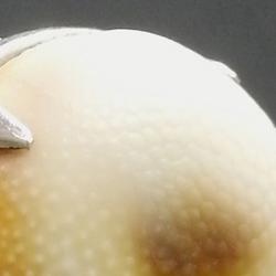 rcdt SAINTE LUCIE bague centree argent opercule de coquillage 2015 PatriciaLemaire